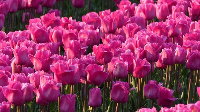 Bulbi di tulipano periodo di coltivazione