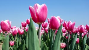 Bulbi di tulipano recupero dopo fioritura