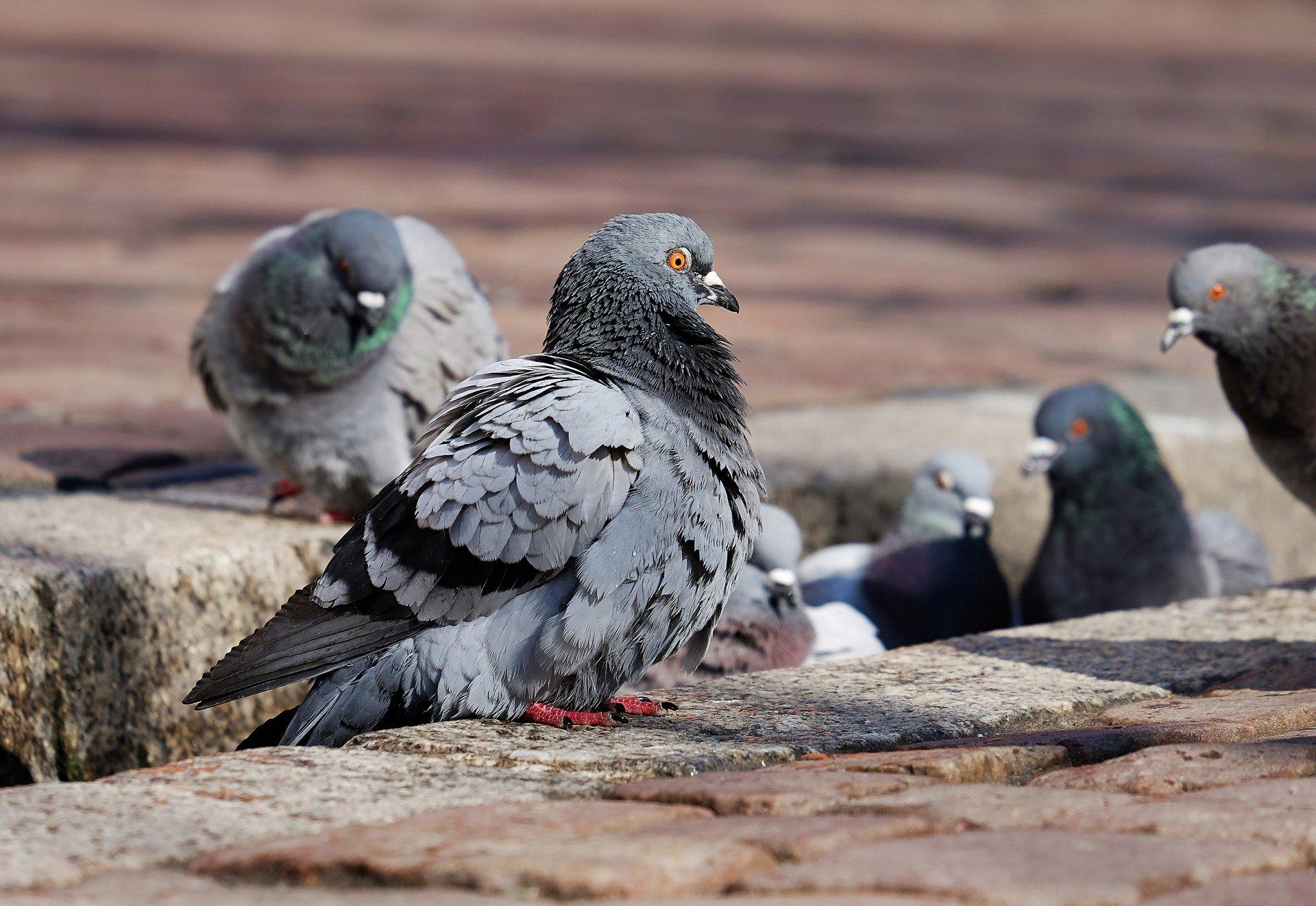 1 pigeons-3268990_1920